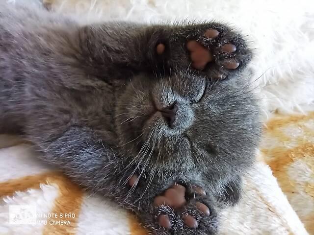 продам Шотландский плюшевый котенок бу в Сумах