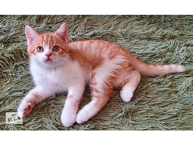 продам Шотландский прямоухий рыжий пятнистый котик с прививками и документами бу в Житомирі