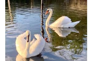 Шипyн. Белые лебеди для украшения водоёма