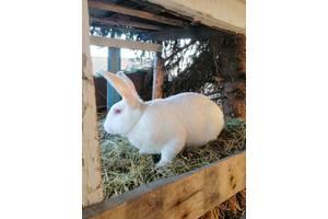 Термонська белая, самец весом 5,5 кг.