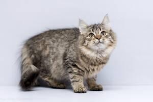 Віддам в добрі руки кошеня дічинку Завію.