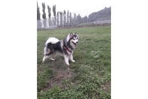Волкі 1.7 лет