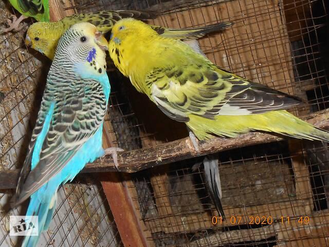 Волнистые попугаи пара- объявление о продаже  в Херсоне