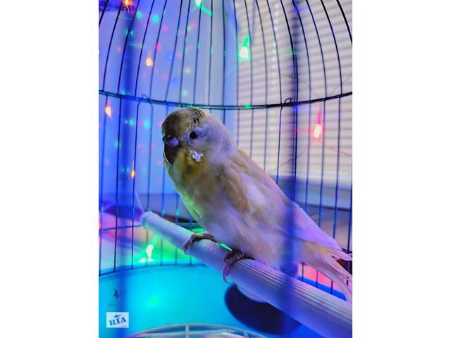 купить бу Волнистые попугайчики + клеточка в Михайловке