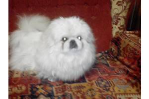 Вязка белого королевского пекинеса