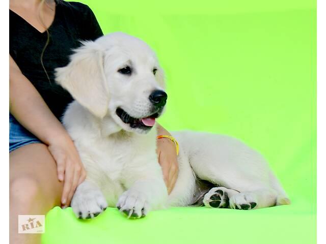 Видео, свежачок! Шикарный Мачо, щенки золотистого голден ретривера.- объявление о продаже   в Украине