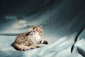 Вислоухие котята скоттиш фолд скоттиш страйт
