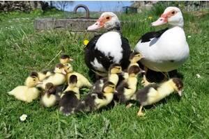 Инкубационное яйцо уток, гусей, индюков