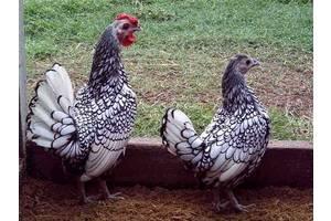 Інкубаційні яйця (Сібрайт)
