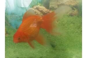 Золотые рыбки. Вуалехвост 18 см.