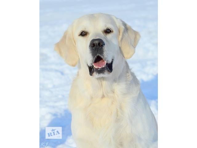 продам Золотистый голден ретривер для вязки, для случки, золотистый голден ретривер, вязка, возможно за щенка. бу  в Украине