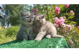 Питомник шотландских и бенгальских кошек Wild Swan.